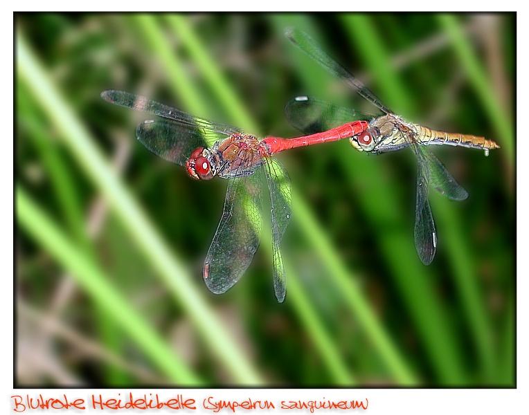 Viele Grüße von meinem Libellenteich!