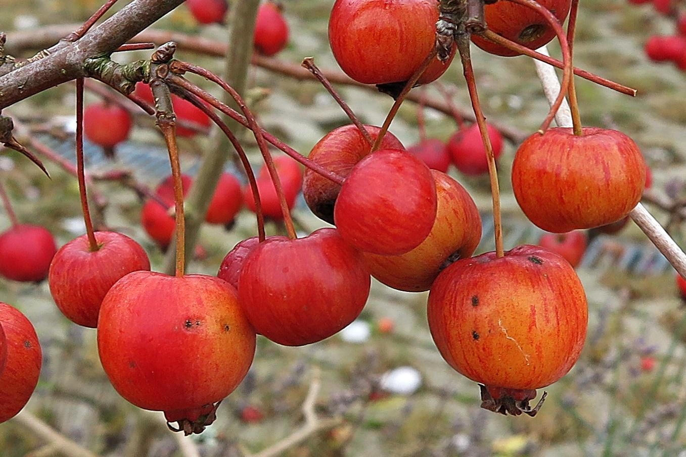 Viele Kleine Zieräpfel Leuchten Am Gartenstrauch Im Dezember Foto