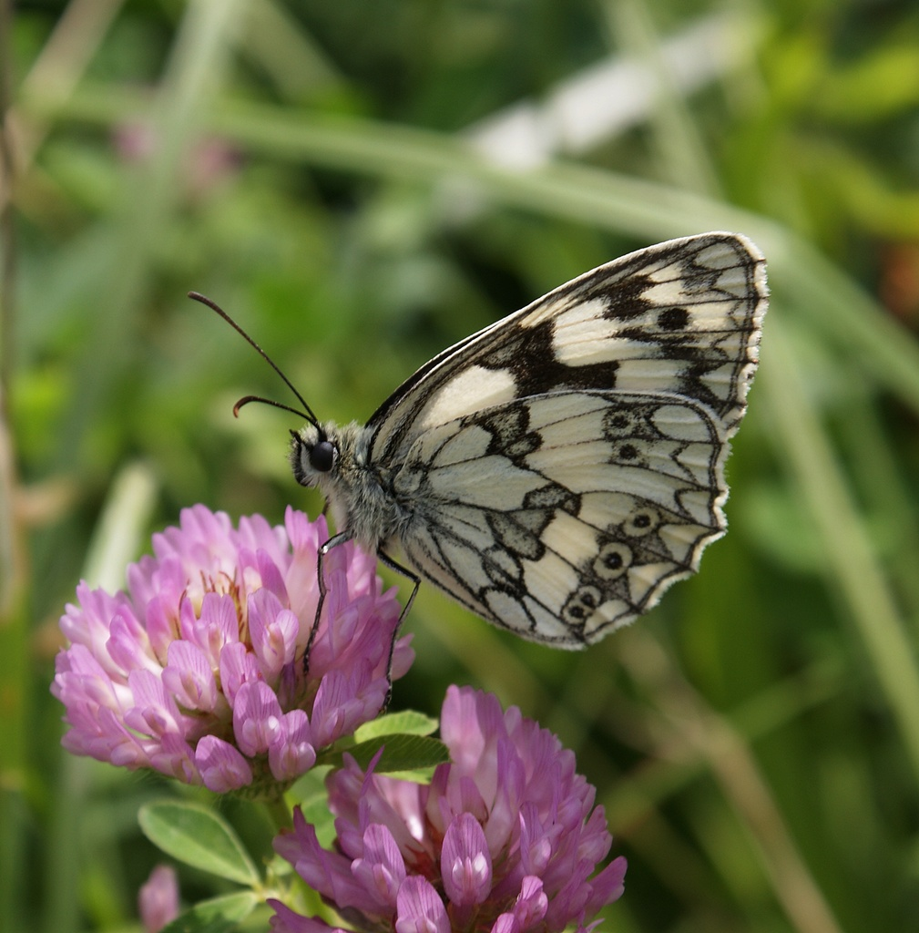 viele Schmetterlinge gab es heute