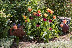 viele Tulpen