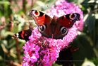 viele, viele Schmetterlinge in diesem Jahr