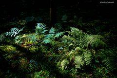 Vielfalt der Farne im Wald von Seewald-Schernbach