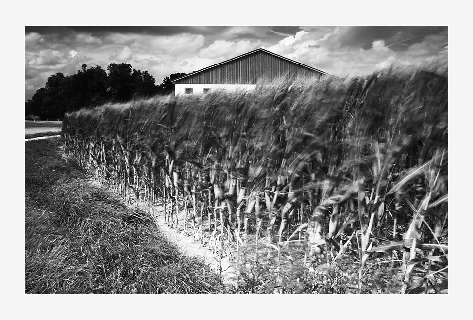 viento en el campo de maís
