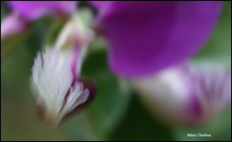 viento violeta