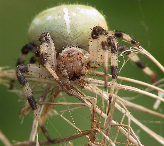 Vierfleck-Kreuzspinne (Araneus quadratus) #3