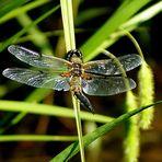 Vierfleck-Libelle