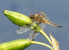 Vierfleck -Libelle