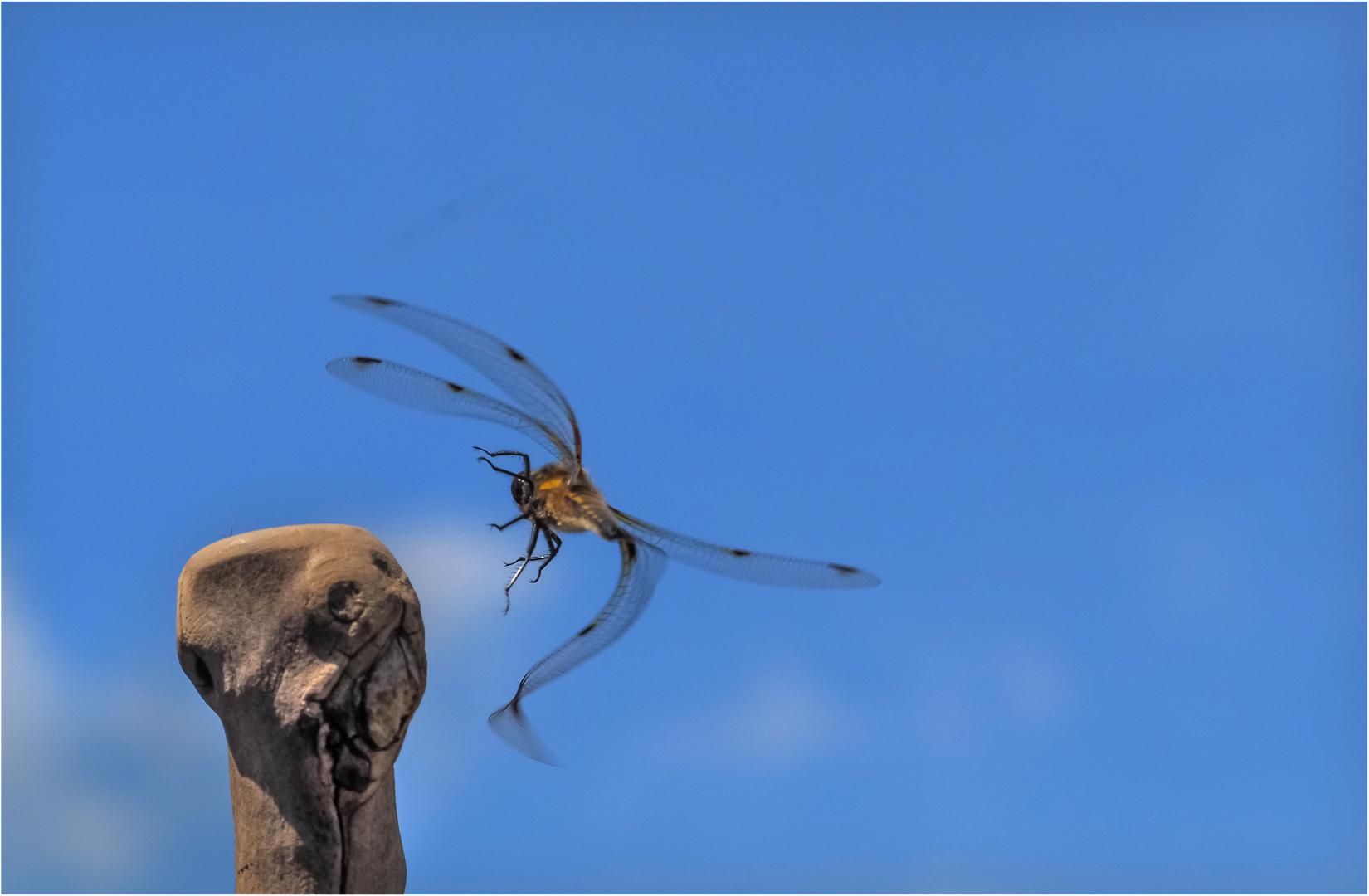 Vierfleck-Libelle Flugstudie 2