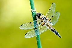 Vierfleck(Libellula quadrimaculata)