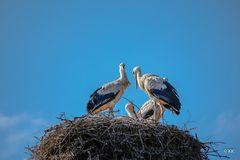 Vierköpfige Familie Storch