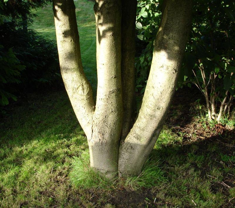 Vierlings Kastanienbaum