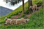 Viermal Schaf, zweimal Schlaf