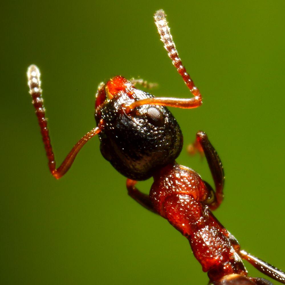 Vierpunktameise (Dolichoderus quadripunctatus)