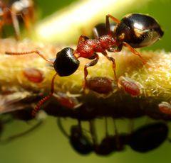 Vierpunktameise (Dolichoderus quadripunctatus) und Blattläuse