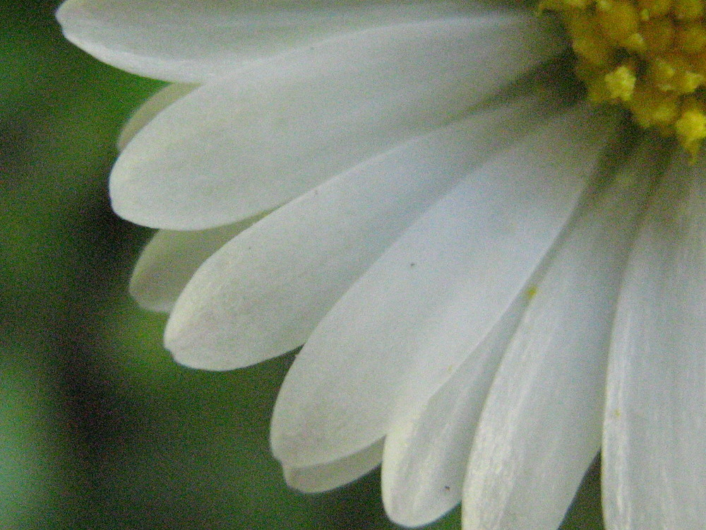 Viertel Gänseblümchen