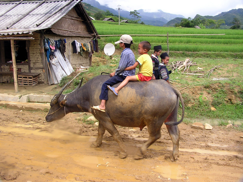vietnamesischer Reitbüffel