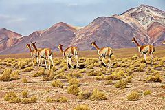 vigognes dans l'altiplano