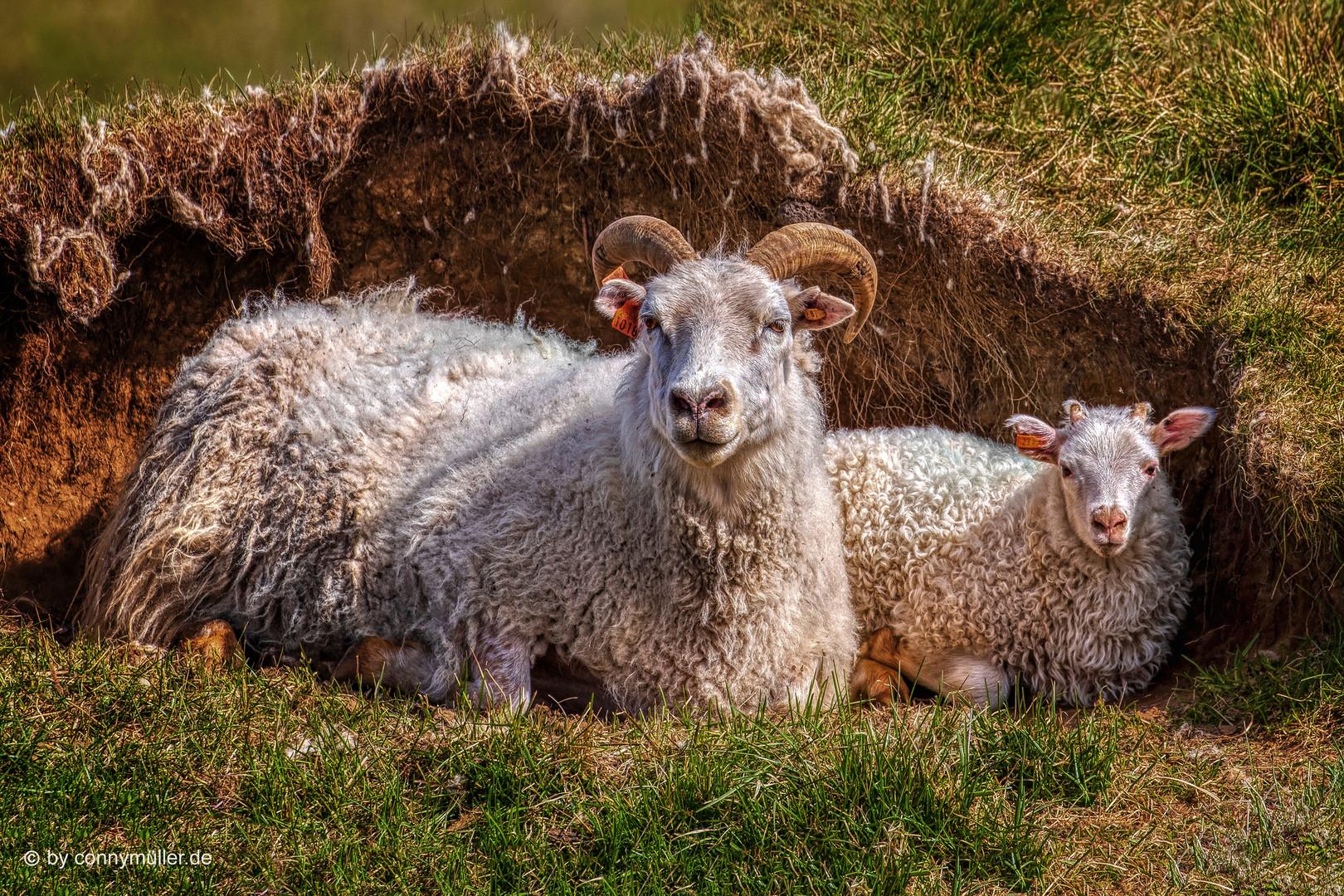 Viking Sheeps
