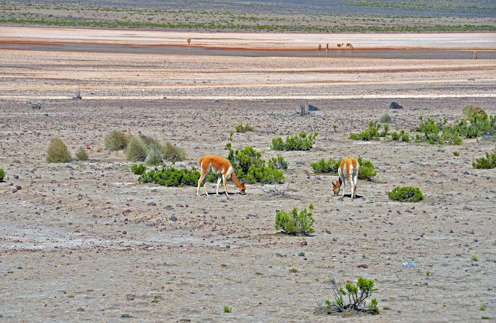 Vikunjas im Hochland von Peru (2)