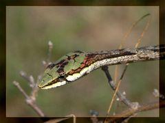 Vine- oder Twig Snake