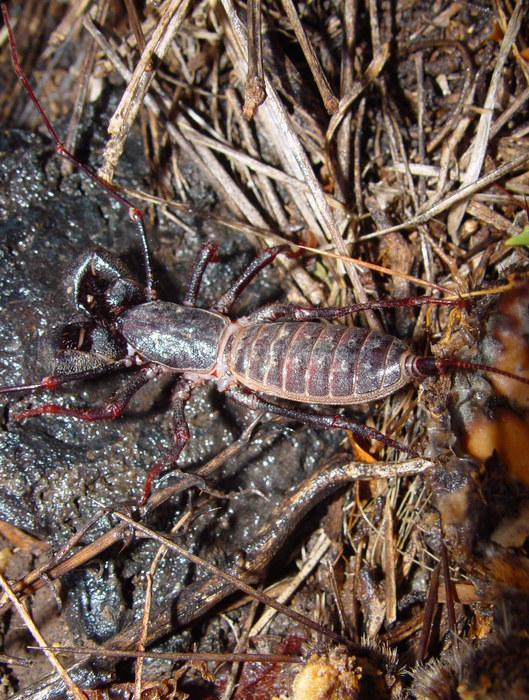 'Vinegaroon' (Mastigoproctus giganteus) oder 'Essigkäfer'