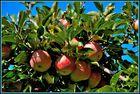Vinschger Äpfel