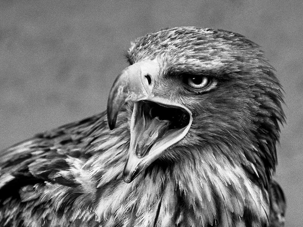 VINTAGE Foto von einem Adler, ca. 25 jahre Alt