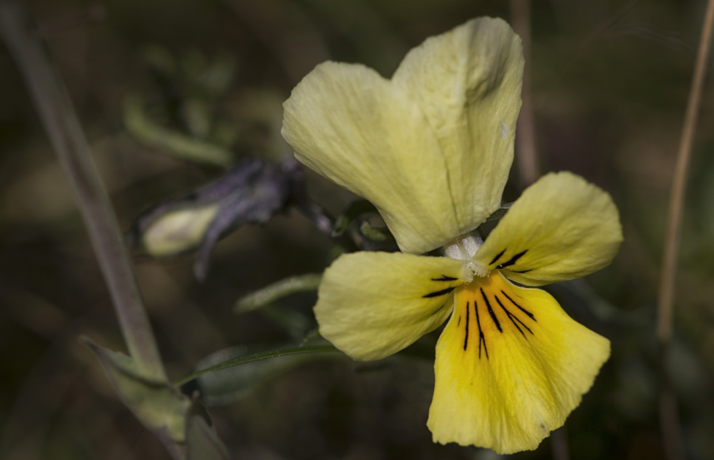 Viola calaminaria - Galmei-Veilchen