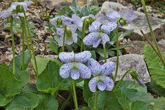 Viola sororia freckless