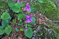 Viola sororia rubra