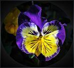 ~ Viola Tricolor ~