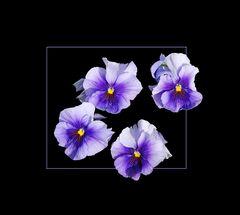 Viola Wittrockiana Hybriden