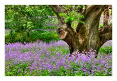 Violet Carpet #1