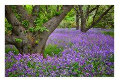 Violet Carpet #2