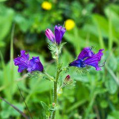 Violet Flowers of Spring