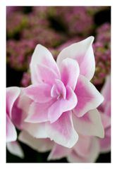 Violet Hydrangea2