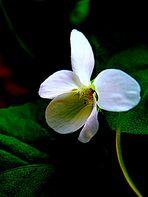 Violeta Blanca