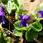 Violetes silvestres