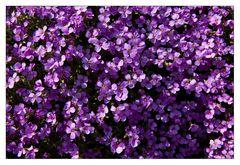 Violett am See