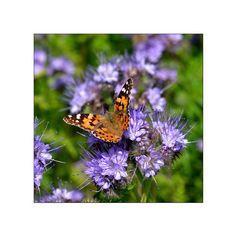 Violett mit Schmetterling