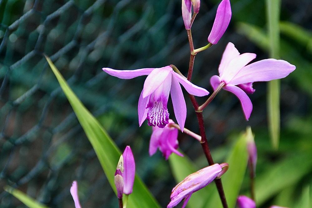 Violett mit zarten Streifen