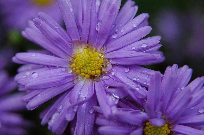 Violett perls