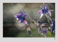violette Akelei