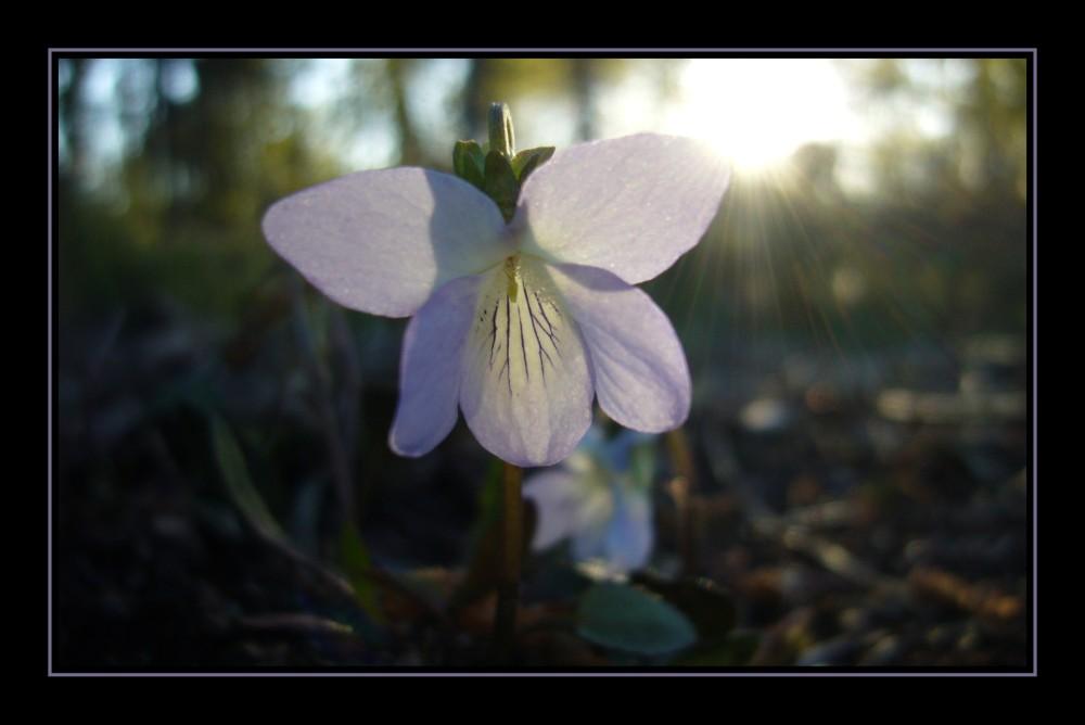 Violette au soleil