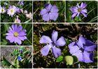 violette Blümchen