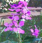 Violette Blume