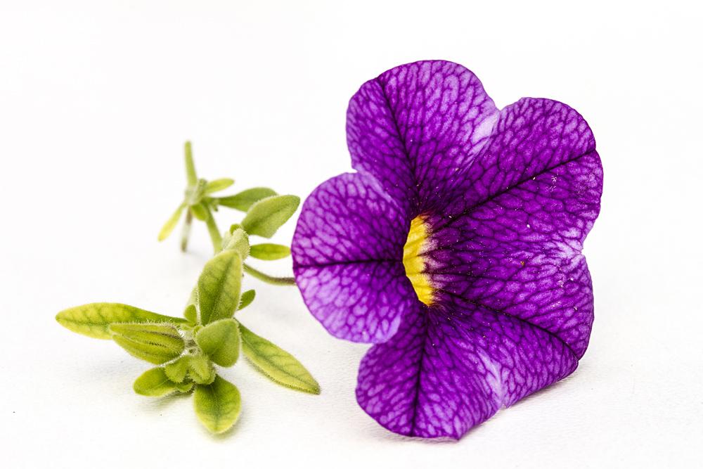 violette Gartenblume