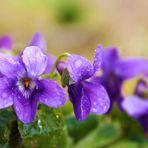 violette, le printemps arrive!