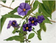 violette Mittwochsblümchen....