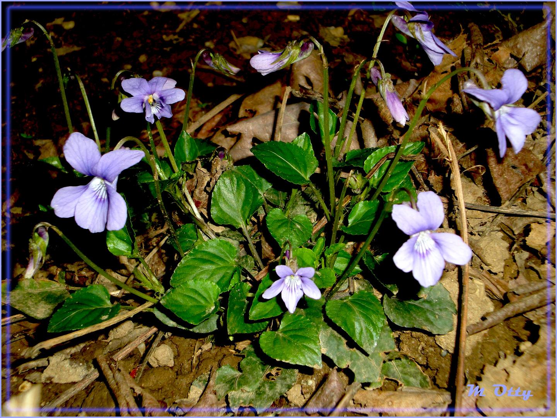 Violette sotto l'oleandro